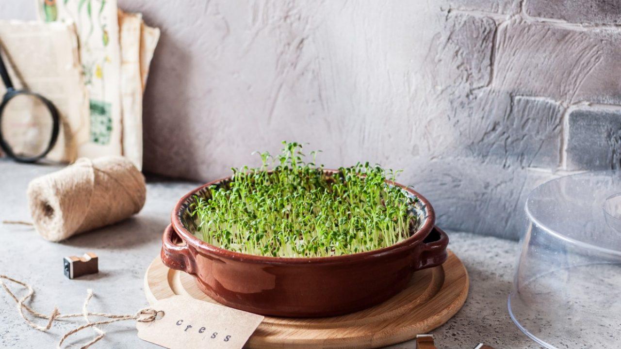 Как вырастить микрозелень маш