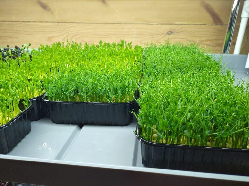 Микрозелень гороха и чем она может быть полезна