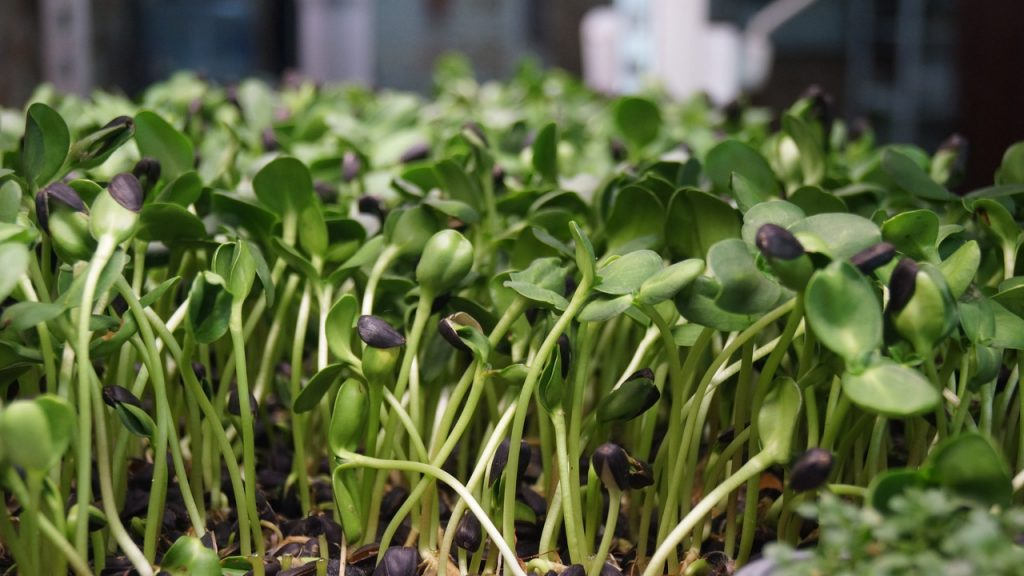 Свойства, выращивание и употребление микрозелени подсолнечника